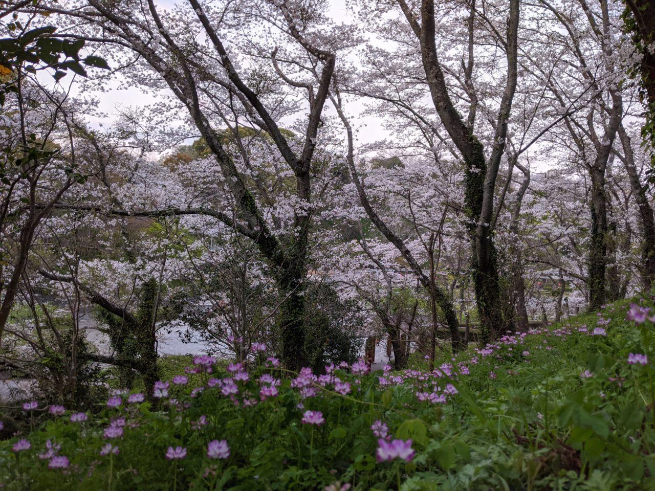 蓮華寺公園の桜