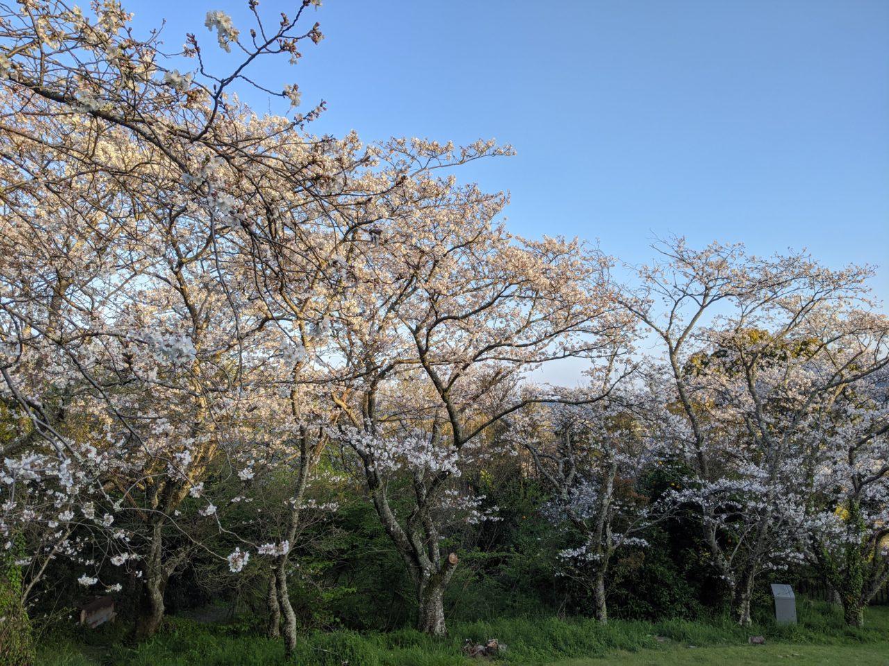 天神原の桜